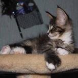"""Чудо природы: кошки """"в варежках"""", Магнитогорск"""